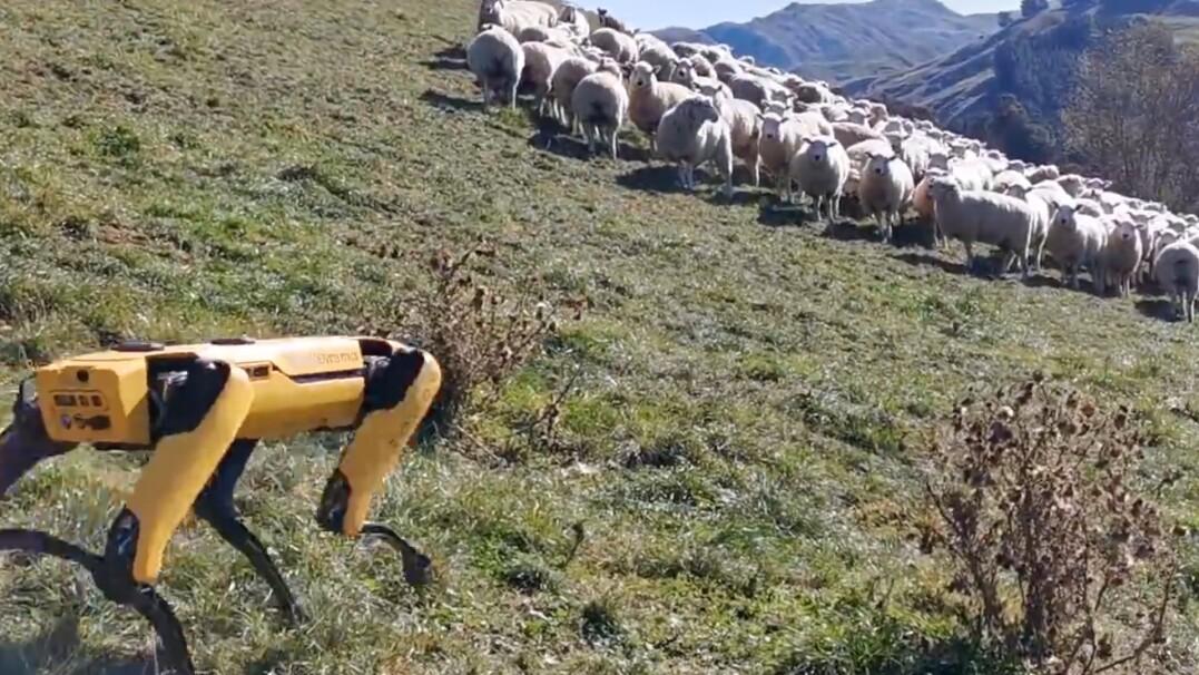 Ostatnio pomagał lekarzom, teraz wypasa owce. Co jeszcze potrafi robot od Boston Dynamics?