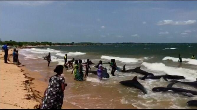Dwadzieścia wielorybów na plaży. <br />Na pomoc ruszyli żołnierze